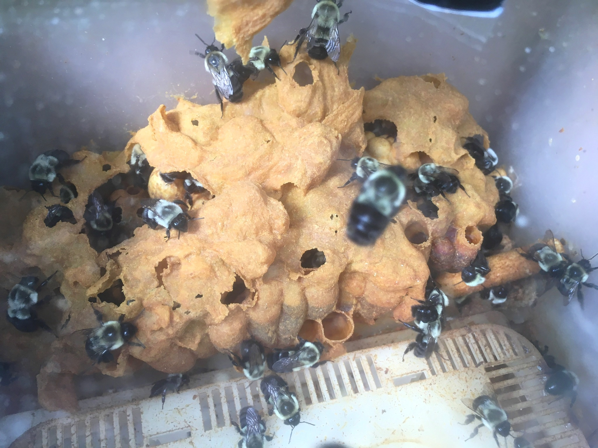 Bumblebees at work covering the colony with an insulating wax canopy to maintain its temperature in cold conditions.