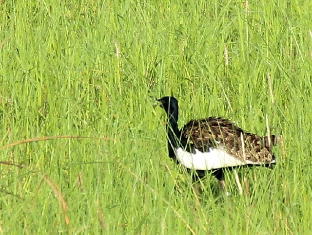 A tagged Bengal florican (note the tag's antenna above its back) foraging in Pilibhit National Park, India.