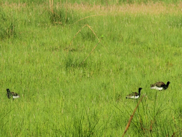Three male Bengal floricans compete for females in Pilibhit National Park, Uttar Pradesh, India.