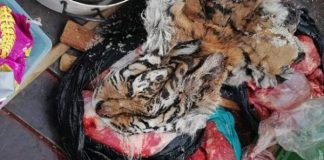 Tiger skin and lion bones and meat recovered, 8 arrested, NW. Photo: SAPS