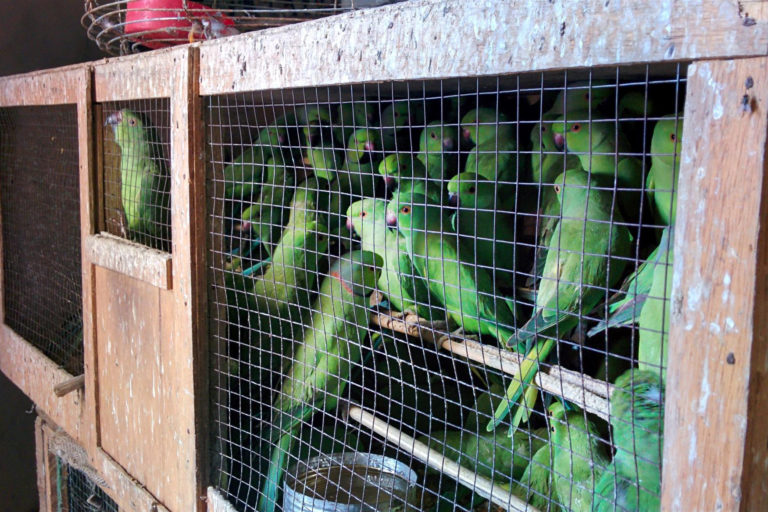 Rose-ringed parakeets seized from the parrot trade in Senegal. Photo courtesy of Davide de Guz/World Parrot Trust
