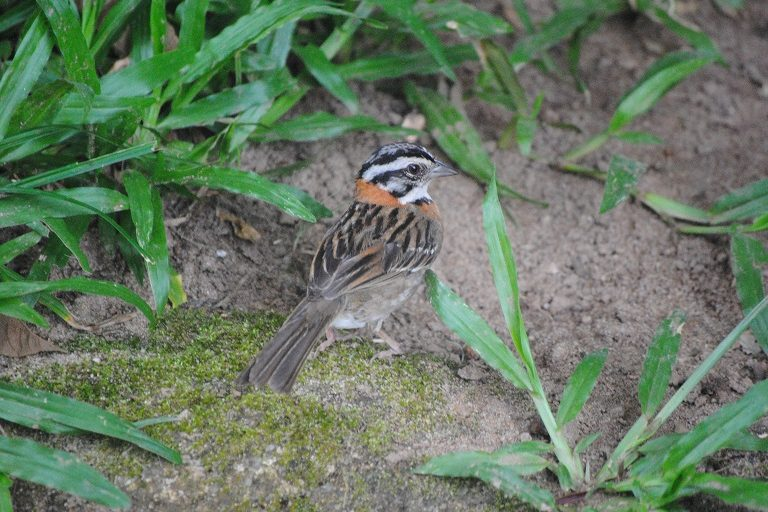 A rufous-collared sparrow in Anchieta. Photo by Ignacio Amigo/Mongabay.