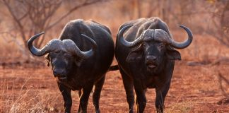 Buffalo in the Kruger National Park, South Africa. Shutterstock