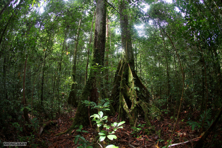 Rainforest in Indonesian Borneo. Photo by Rhett A. Butler