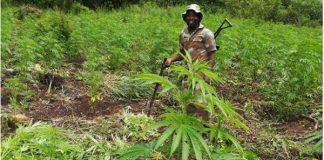 Enormous dagga plantation destroyed. Photo: SAPS