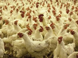 Farm attack, 10 attackers assault victim, steal 200 chickens, Sundra