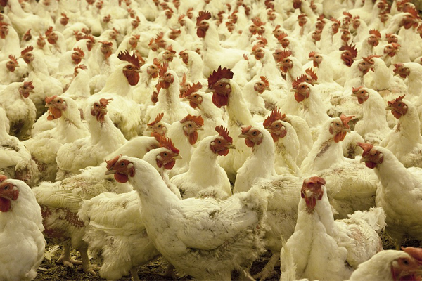 Farm attack, 10 attackers assault victim, steal 200 chickens, Sundra
