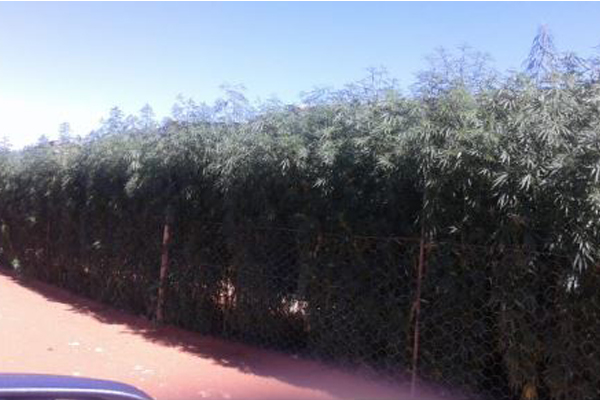 Dagga plantation destroyed in Jan Kempdorp. Photo: SAPS