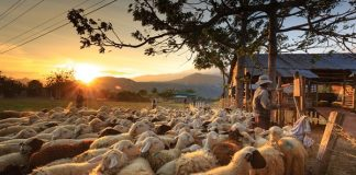 Group brazenly orders farmworkers to load livestock, steal 152 animals