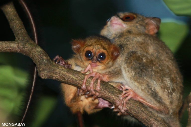 Sulawesi tarsier. Photo