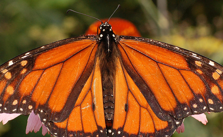 Good News From Mexico Monarch Reserve Despite Looming