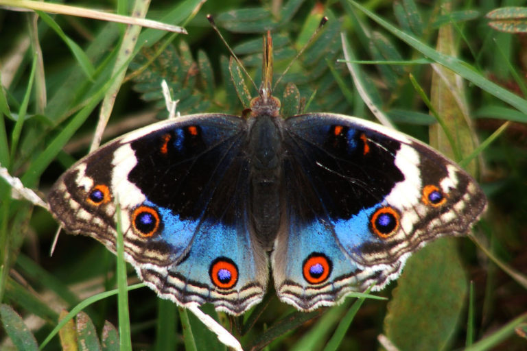 A blue pansy (Junonia orithya), a species occasionally available through Kipepeo Butterfly Project. Image by Haneesh K M. via Flickr.