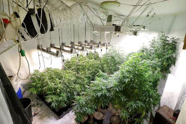 Cultivation of dagga plants, man arrested, Gordons Bay