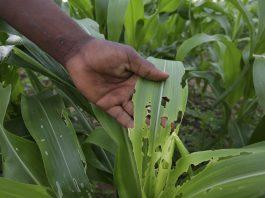 A farmer in Bubi near Bulawayo, Zimbabwe, shows damage to his maize crop caused by the fall armyworm. Aaron Ufumeli/ EPA