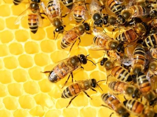 Managed bees versus wild bees? It's not that simple in South Africa