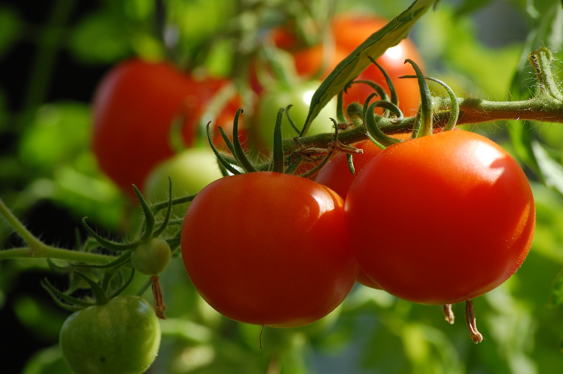 tomato-2643774_1920.jpg