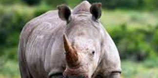 Hawks arrest three for dealing in rhino horns, Randburg