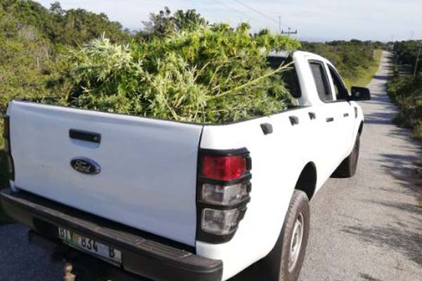 Cultivating dagga and illegal firearm, two arrested, Chelsea. Photo: SAPS