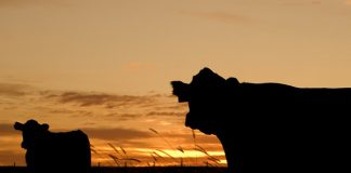 Farm attack, man (77) violently assaulted, cattle robbed, Standerton