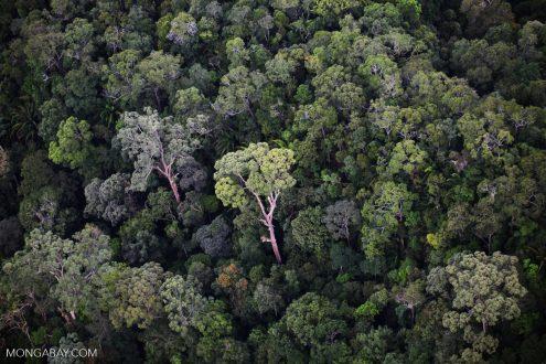 Rainforest emergent tree in Borneo.