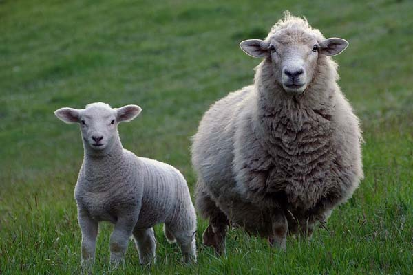 Stock theft, two arrested with stolen lambs and sheep, Hartswater