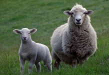 28 Stolen sheep recovered, Schweizer-Reneke