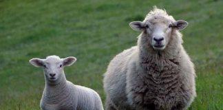 28 Stolen sheep recovered, Schweizer-Reneke