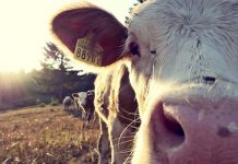 Stock theft: Slaughtered cows discovered, King Williams Town