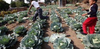 Children play in a cabbage patch near their home in Modderspruit, near Rustenburg, South Africa. EFE-EPA/Halden Krog