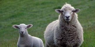 Stock theft: Two nabbed with 11 stolen sheep, Wrenchville
