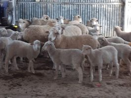 Stock theft syndicate members arrested, Aliwal North. Photo: SAPS