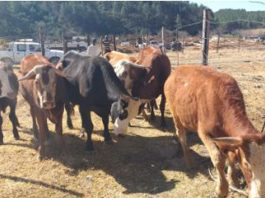 Cross border stock theft an ongoing problem, EC. Photo: SAPS