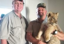 Lion cub found in Athlone, Cape Town. Photo: SAPS