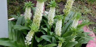 Eucomis autumnalis is more than just a plant - it could play a role in biomedical engineering. Gurcharan Singh/Shutterstock