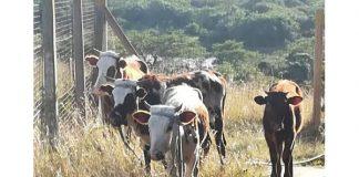 More stolen stock recovered, EC. Photo: SAPS