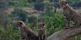 Cheetah cub dealers convicted, Hartswater