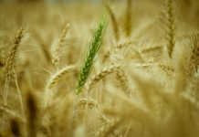 SA drought: Food and feed drive, distribution to struggling farmers