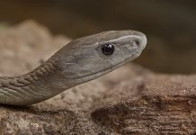 Black mamba venom can be lethal. Photograph courtesy Thomas Birkenbach
