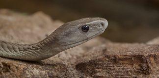 Black mamba venom can be lethal. Photograph courtesy Thomas Birkenbach