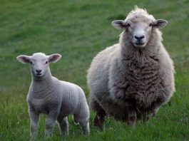 Thieves raid Heilbron farm: Bludgeon sheep in the herd that could not keep up