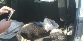 Two pangolins rescued, 5 suspects arrested, Themba. Photo: SAPS