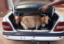 Stock thieves flee, 9 goats found in boot, Gilead. Photo: SAPS