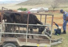 Stolen cattle recovered, Estcourt. Photo: SAPS