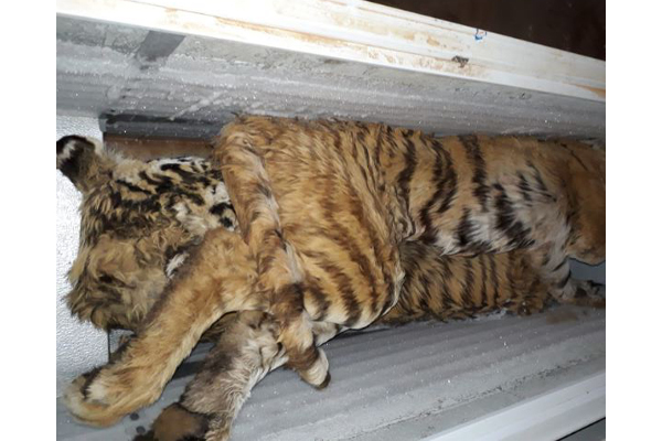 100 Rhino horns and Tiger carcasses, suspects in court. Photo: SAPS