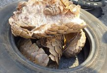 Pieces of pangolins recovered, 3 arrested, Cape Town. Photo: SAPS
