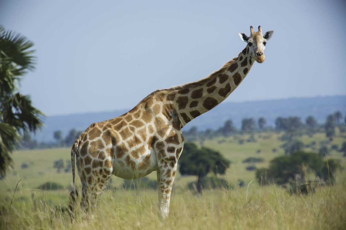 Rothschild's giraffes are among the threatened species found in Murchison Falls National Park. Image by Thomas Fuhrman via Wikicommons (CC SA-BY 4.0)