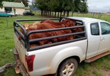 Stock theft: 21 Calves recovered in Vryheid operation. Photo: SAPS