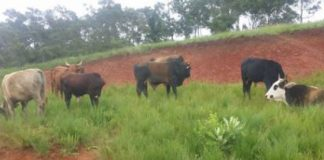 Amangwe stock theft, cattle recovered, 2 arrested. Photo: SAPS