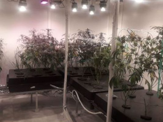 Man arrested for cultivating dagga in his Seapoint apartment, CT. Photo: SAPS