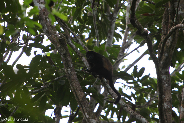 Howler monkey calls can travel for kilometers through the canopy. Image by Rhett A. Butler/Mongabay.